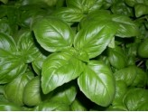 SEEDS OF GENOVESE BASIL SEEDS FROM GR. 500