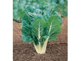 SEEDS OF SWISS CHARD, GREEN COAST, SILVER FROM GR. 500